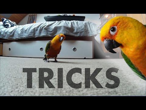 Jenday Conure Tricks