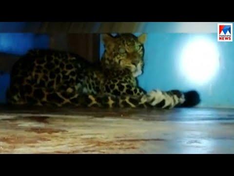 വയനാട്ടില് വീട്ടിലെ കട്ടിലിനടിയില് പുള്ളിപ്പുലി | Wayanad Leopard