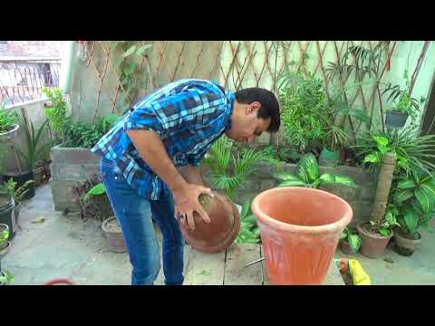 How to Care Lychee Plant | Growing Lychee Plant in A Container | Fruit Tree (Urdu/hindi)