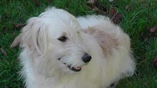 Sweet, Funny Animal Videos For Children. Golden Retriever Poodle Dog Ally. No35 2014 This Day