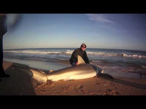 Shark Fishing 2013 - Bronze Whaler Shark Great White Shark