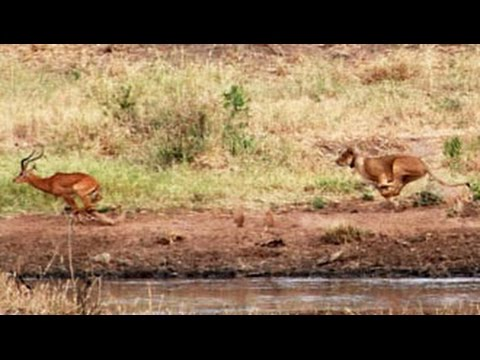 Lions Hunt A Herd Of Impalas - Latest Wildlife Sightings