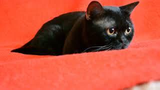 Купить шотландского котенка. Котик черный шотландский прямоухий.