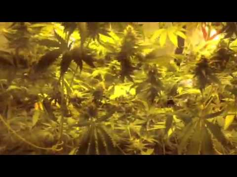 Kandy kush x skunk1 on day 33 of flower