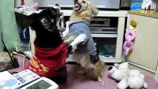 犬の喧嘩です.