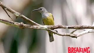 Suara asli burung kolibri kelapa atau wiceh betina mantap😎