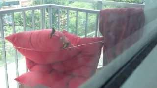 Yellow Breasted Sunbirds Nest Outside My Studio, Inside An Ikea Cushion...
