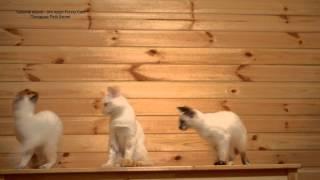 Зачистка дачи от комаров тайскими котятами! Улётное видео! Тайские кошки - это чудо! Funny Cats