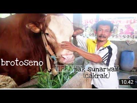 RAHASIA DI BALIK SAPI SUPER JUMBO BROTOSENO,dengan Pak Sunarwan Cakrak