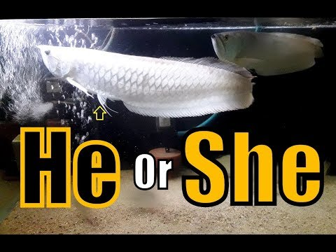 Silver Arowana -  Male Or Female (The Basic Differences)