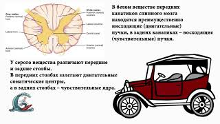 Спинной мозг. Рога и канатики. Мнемоника
