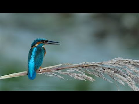 Kingfishers At Kerkini's Lake