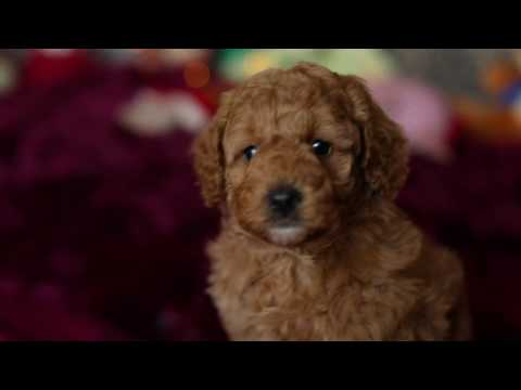Cute Cavoodle puppy available - Teddy Bear dog Male 3 - 5.5 weeks old