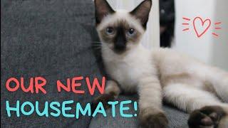 MEET OUR NEW KITTEN!    SIAMESE CAT BREED