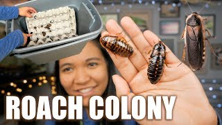 MY SELF CLEANiNG DUBiA ROACH COLONY BiN SETUP!