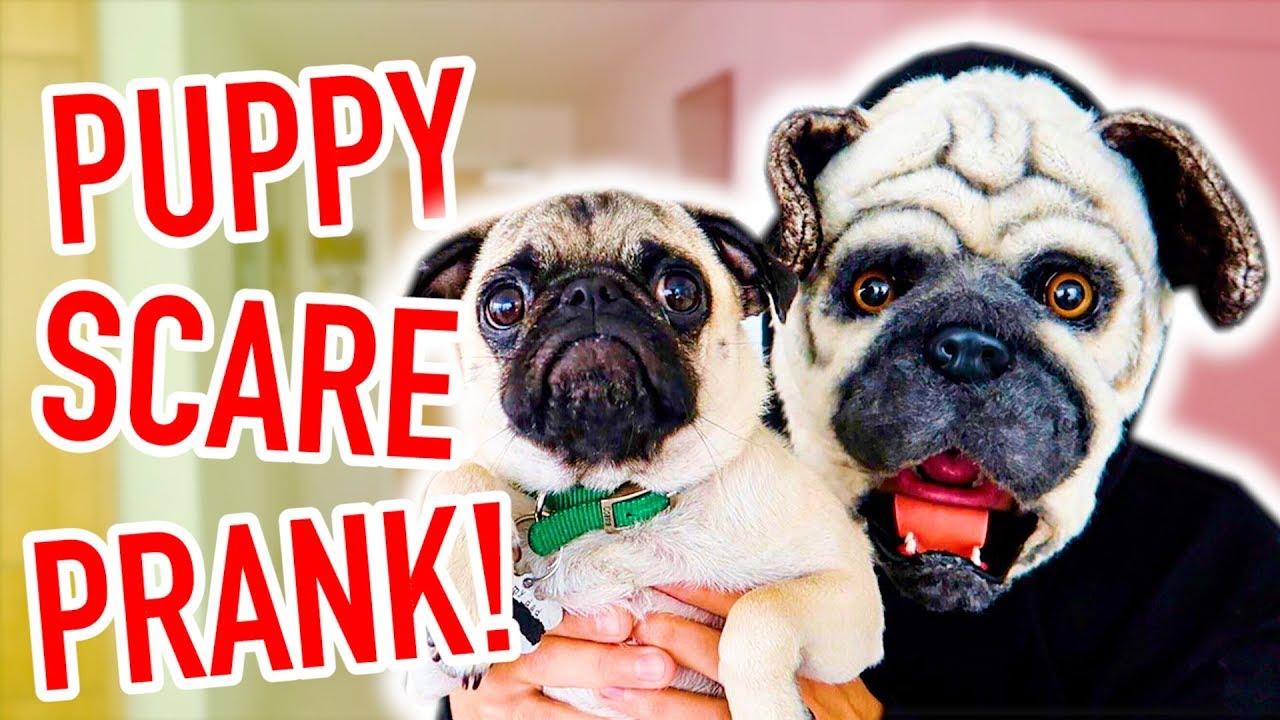 pug-puppy-scare-prank