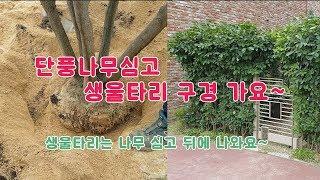 [조경,정원] 단풍나무 심고 생울타리 구경가요~ /나무…