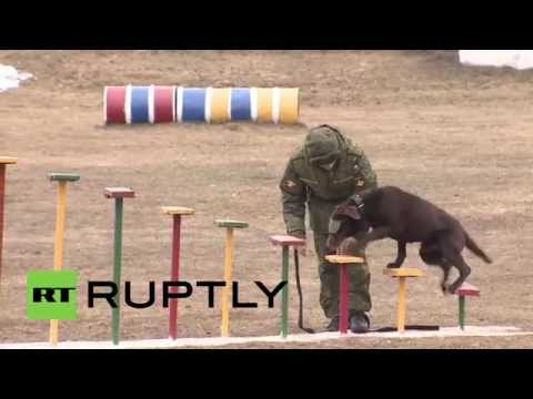 Russia: See how dogs are trained to serve in Russian military
