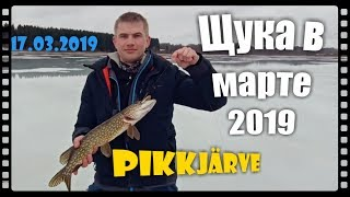 Щука в березні 2019 р . Pikkjärve .