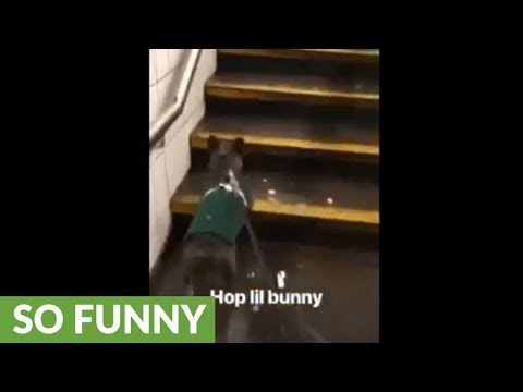 Dog Hops Up The Stairs Like Bunny Rabbit