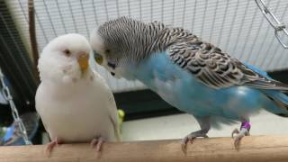 Parakeets Aviary May 2016 - Parkieten Voliere Mei 2016