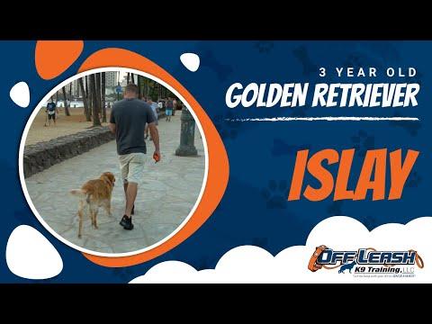 3-year-old-golden-retriever,-islay- -celebrity-dog-trainer-nick-white- -off-leash-k9