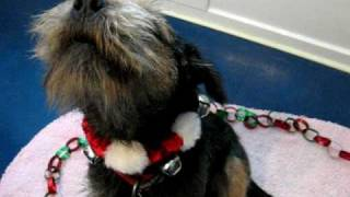 Badger The Border Terrier Sings A Christmas Carol