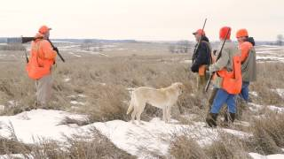Several different breeds of gun dogs lead the way on a wild bird hu...