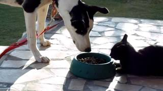 Crazy Cat With A Death Wish Eating Dog's Food