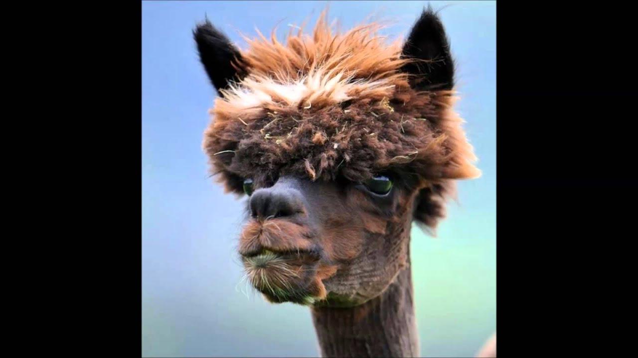 Picture Of A Llama Crying: Cry Like A Llama Ed Sheeran Song