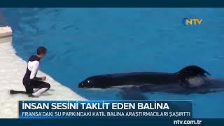Su parkındaki katil balina araştırmacıları şaşırttı