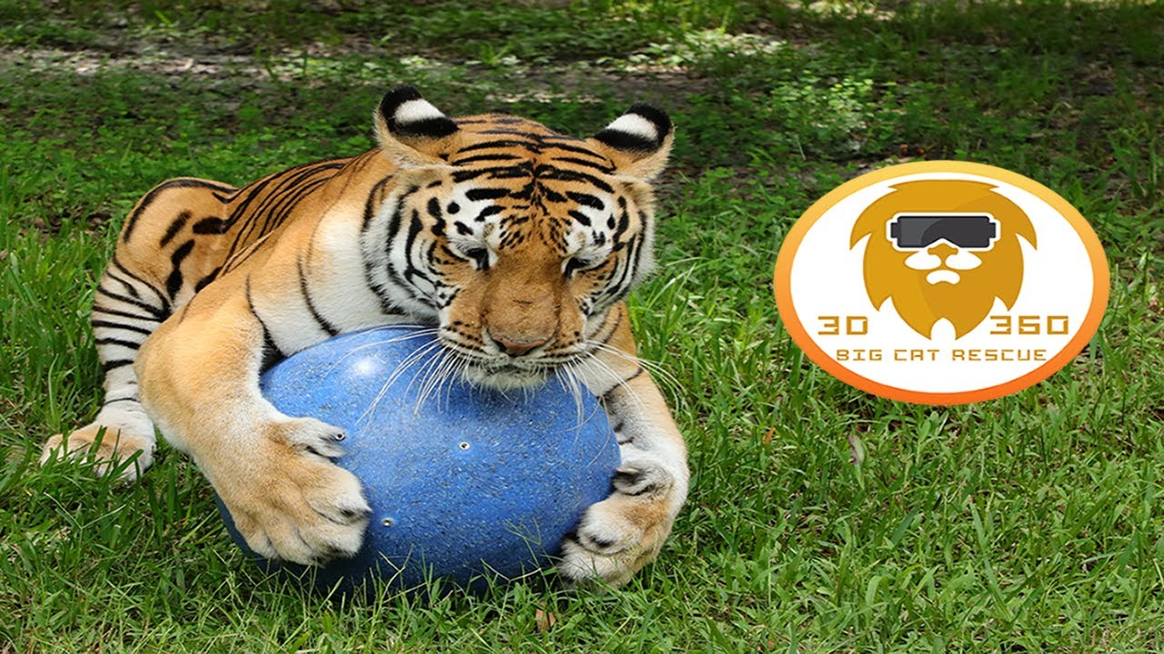 Big Cats get New Toys in 3D 180VR!