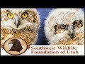 Two Great Horned Owls Released by Father's on Father's Day!