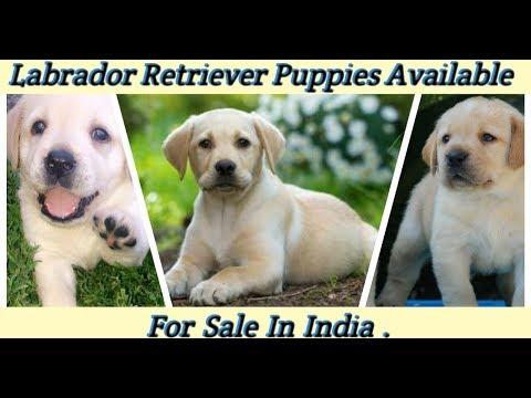 Labrador Retriever Puppies For Sale | Dog Price List