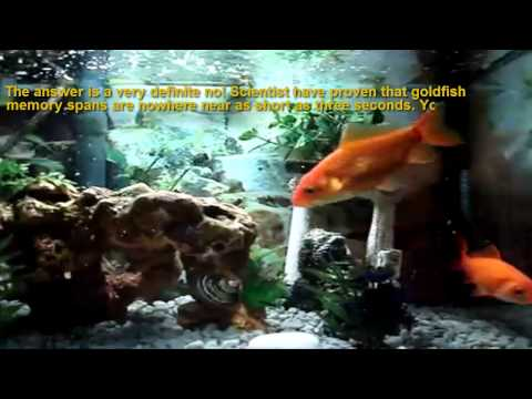 Goldfish Memory Myth. (FactBusters)