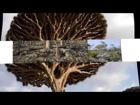 Cây Huyết Rồng (Dracaena cinnabari)