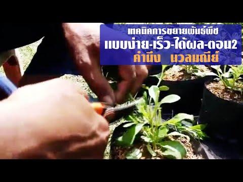 เทคนิคการขยายพันธ์พืชแบบง่าย เร็วและได้ผล(ตอน๒) โดย อ.คำนึง นวลมณีย์