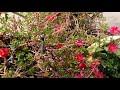 561- Way to save Purslane for next growing season (Hindi /Urdu) 6/11/17