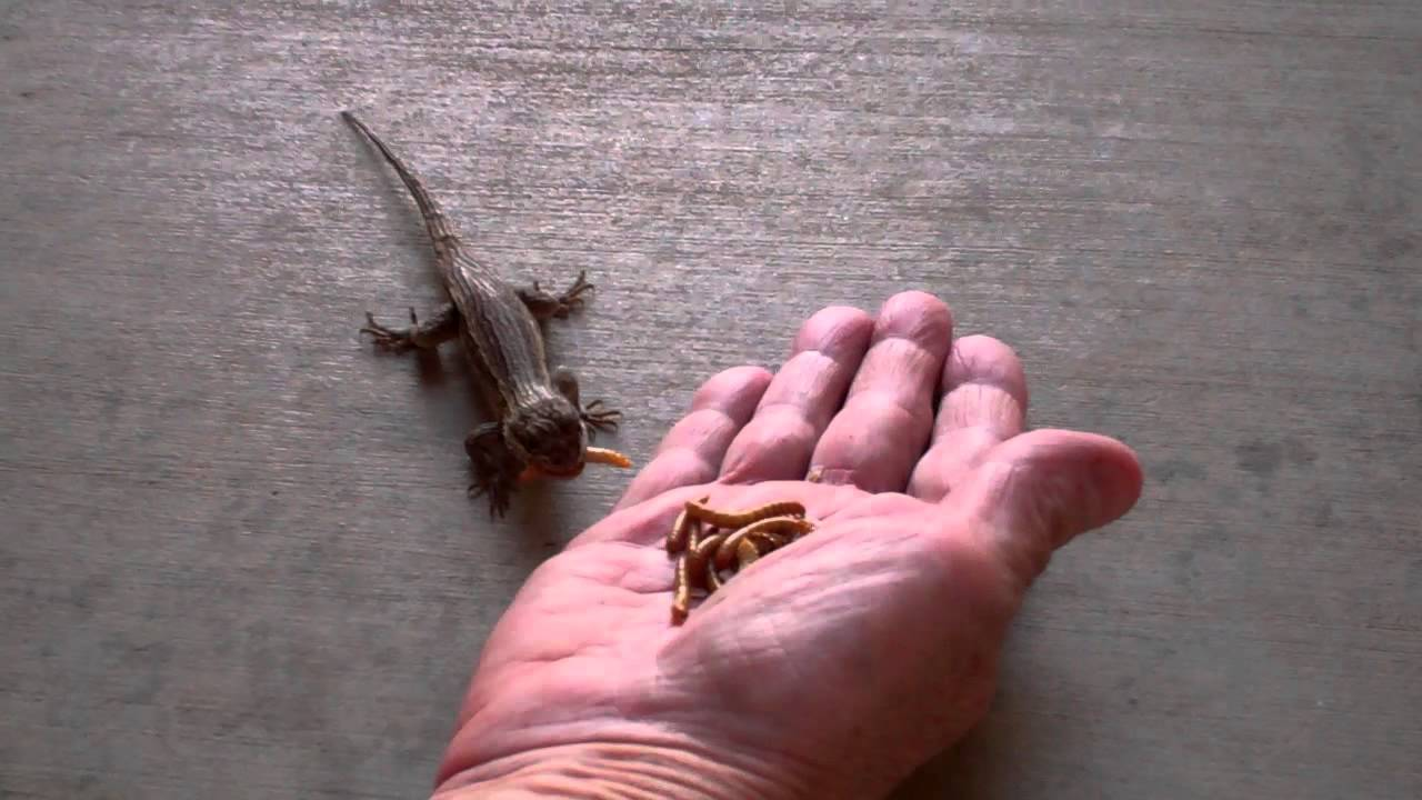 Hand Feeding Our Resident Western Fence Lizards Youtube