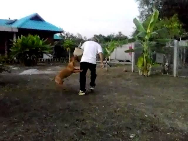 Pitbull dog training red nose [meet the real instructor]