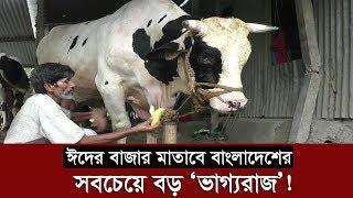 ঈদের বাজার মাতাবে বাংলাদেশের সবচেয়ে বড় ভাগ্যরাজ ! | Biggest Cow In Bangladesh