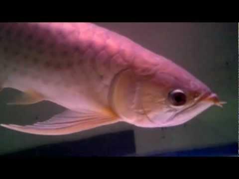 ปลามังกรเขียว๒