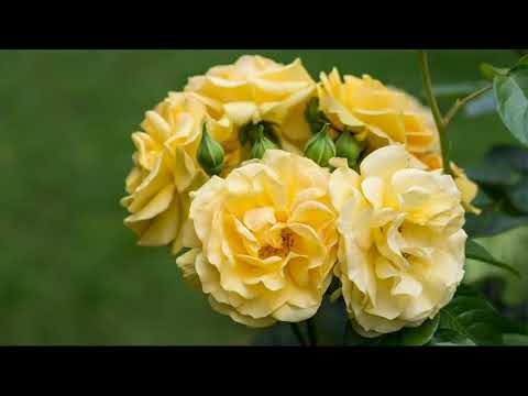 Cottage Farms Julia Child Garden Rose on QVC