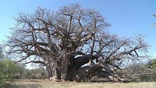 Тысячелетние баобабы стремительно погибают в Африке