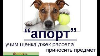 """""""апорт"""" -  учим щенка джек рассела приносить предмет. Урок по дрессировке джек рассела."""