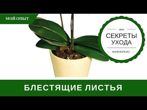 Чем Протирать Листья Орхидеи Для Блеска