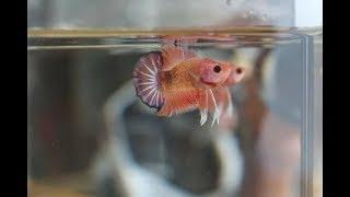 วิธีเลี้ยงปลากัด(เลี้ยงยังไงให้โตเร็ว)