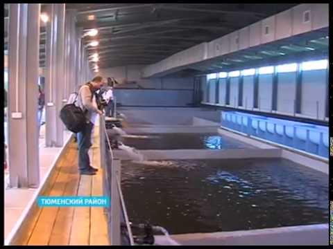 видео: В Тюменской области открылся завод по выращиванию товарной рыбы