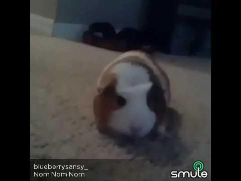 Nom nom guinea pigs