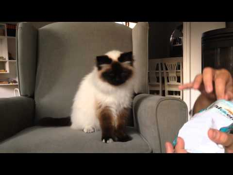 Clicker trained cat does tricks